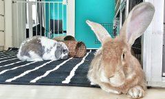 loslopende-konijnen-in-huis