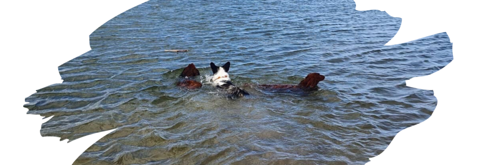 zwemmen senior hond
