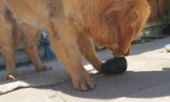 hond kong ijsje