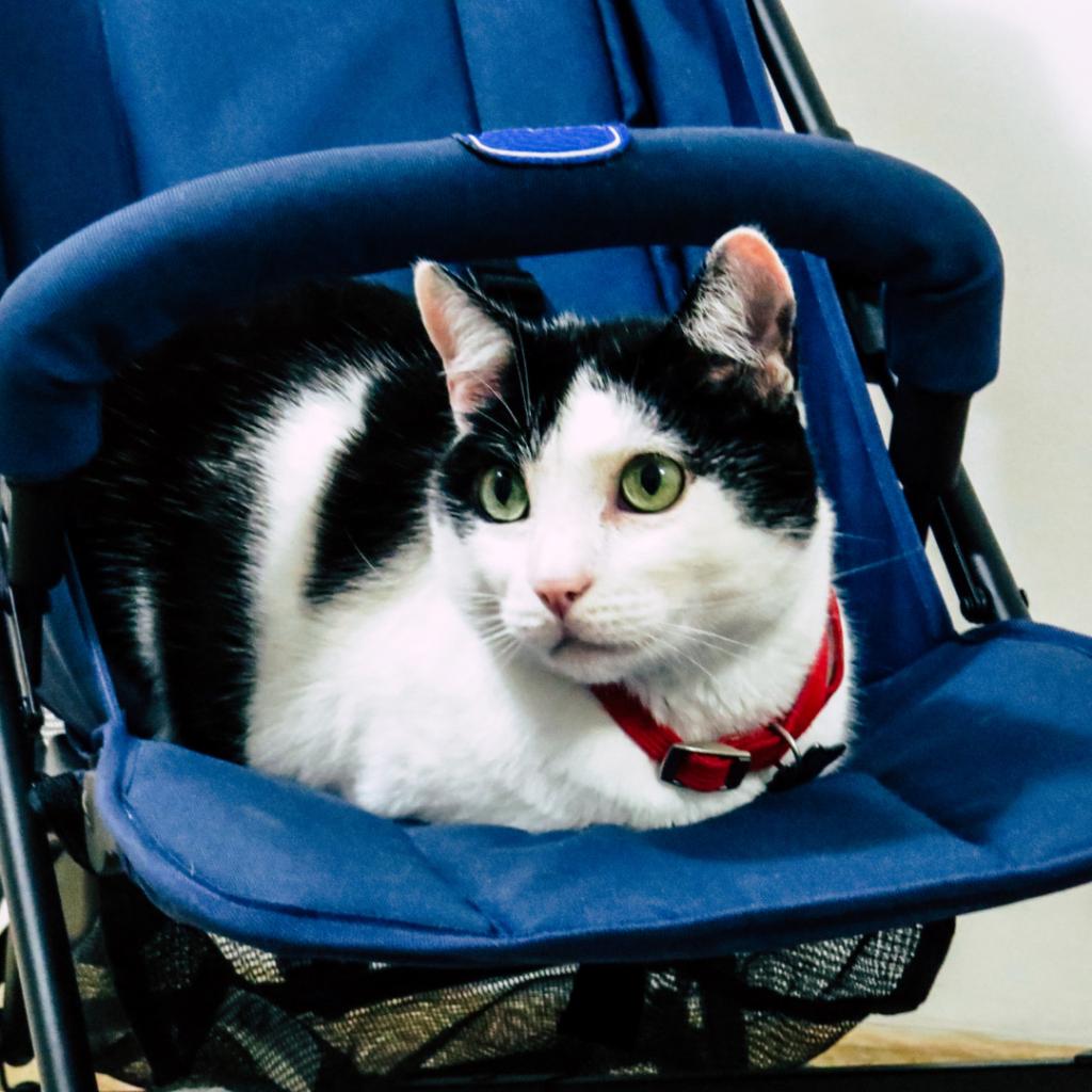 baby kat kinderwagen gedrag zwanger